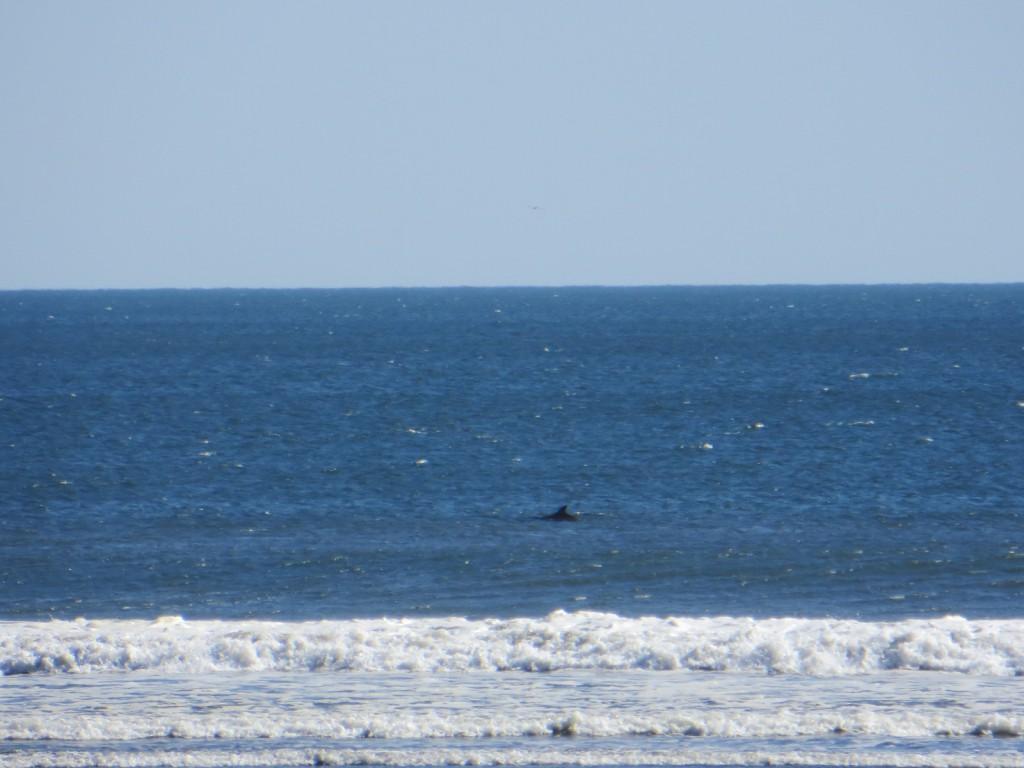 Een dolfijn, zo dichtbij de kust!