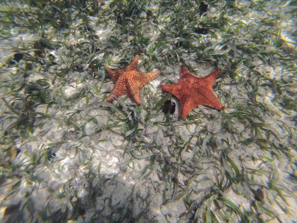 Superveel mooie grote zeesterren