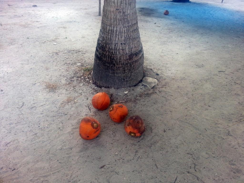 Kokosnoten liggen hier voor het oprapen.