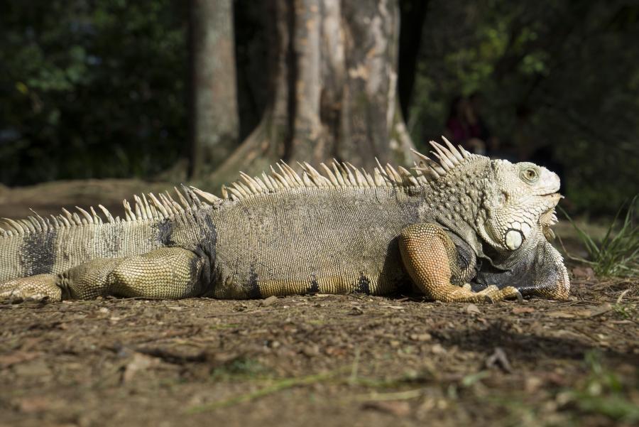 Een mooie foto van een iguana in het botanische park.