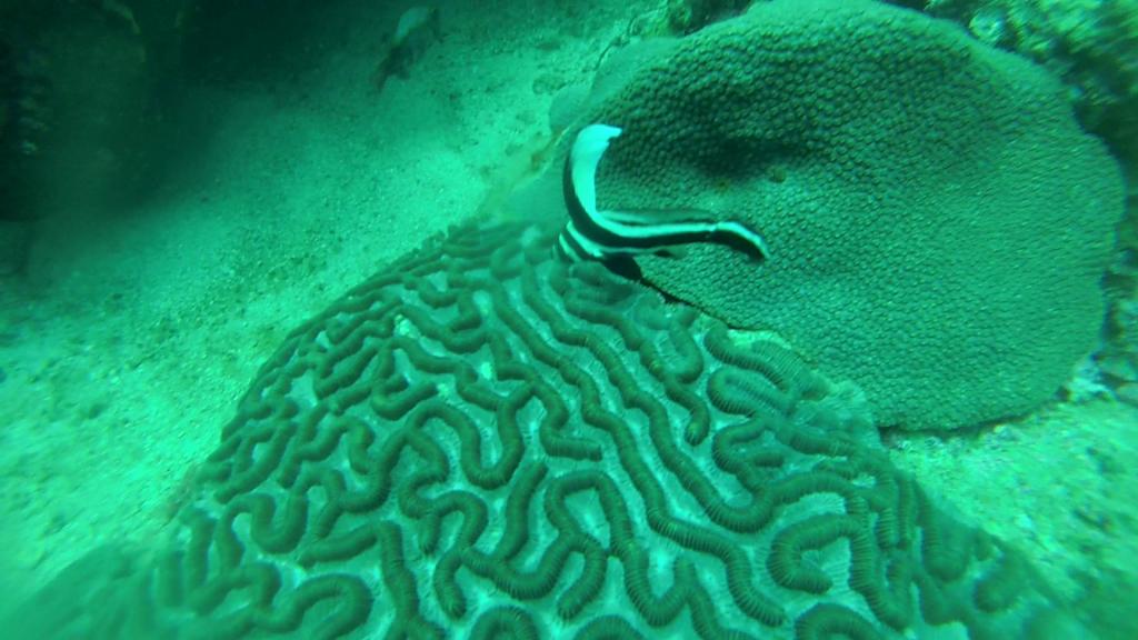 Een unicorn vis boven hersenkoraal