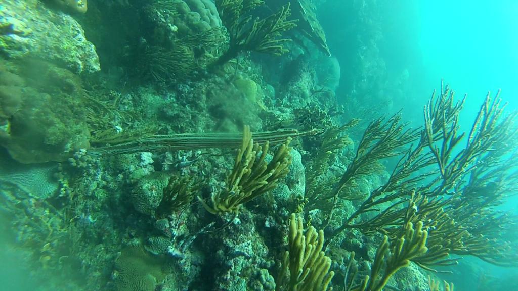 Trompetvis boven de prachtige koralen