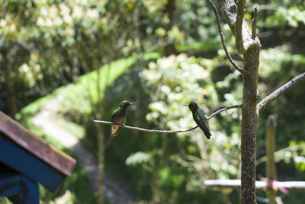 Flirtende kolibries.