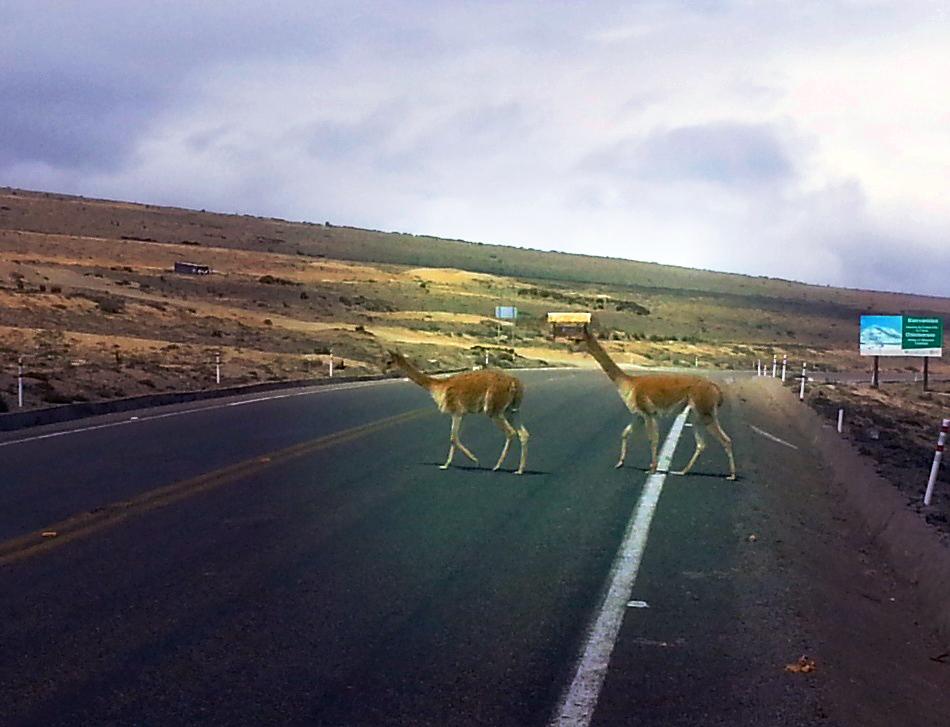 Twee Vicuñas steken voor mijn fiets de straat over.