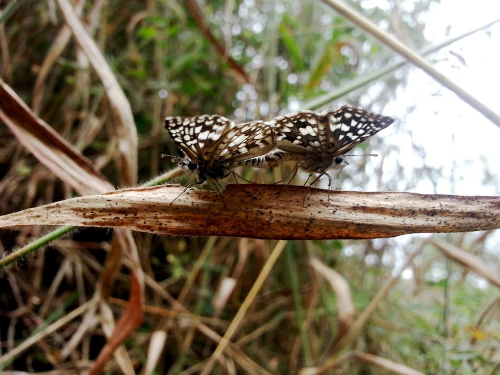 Vlinders die paren of parende vilders.