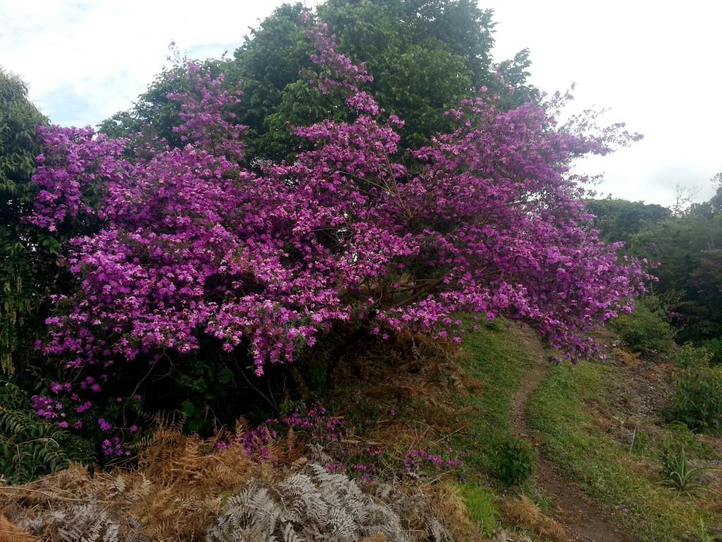 De paarse bloesem boven op de heuvelrand.