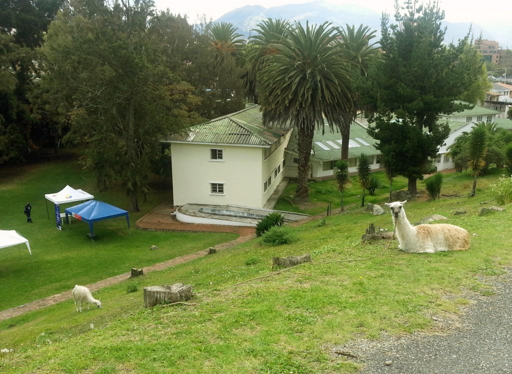 Af en toe, midden tijdens je wandeling door de stad, staart een nieuwsgierige lama je aan.