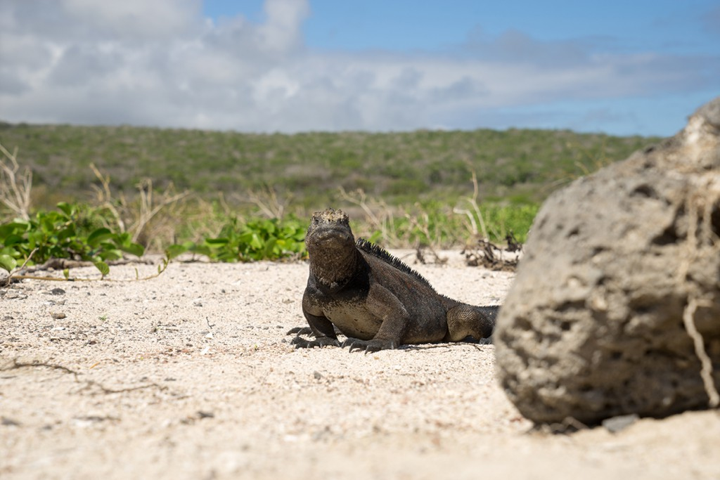 De iguana komt even om de hoek kijken wat die man met die camera daar doet.