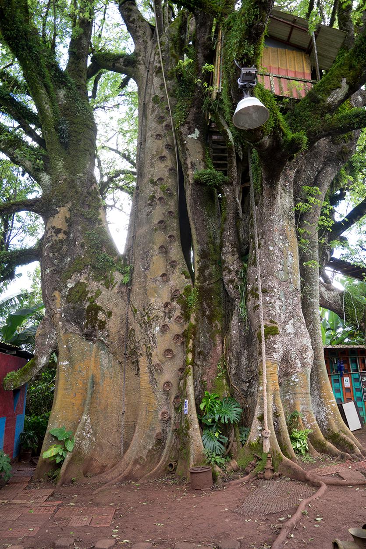 De oudste boom van het eiland en men heeft er een speeltoestel van gemaakt.