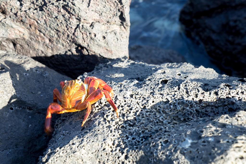 Overal dit soort kleurrijke krabben op de rotsen.
