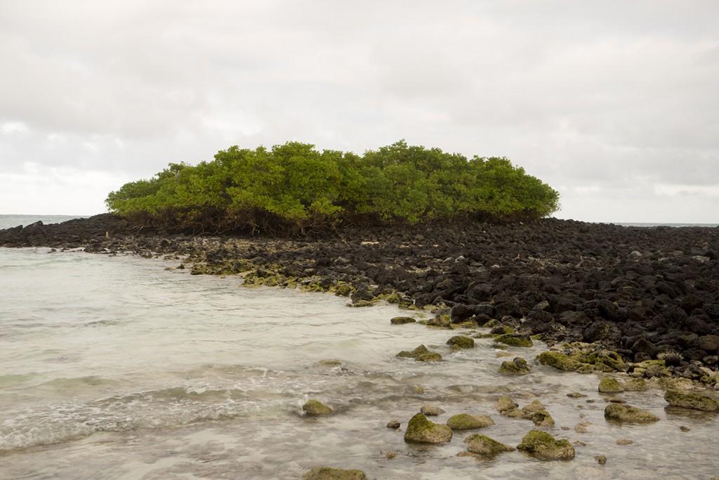 Mangrove op een natuurlijke pier van vulkanische stenen.