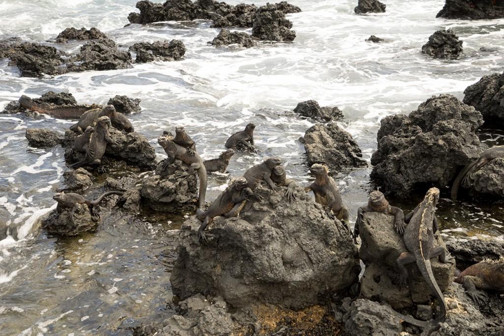 Iguanas houden ervan om elkaar te knuffelen zodat ze warm blijven.