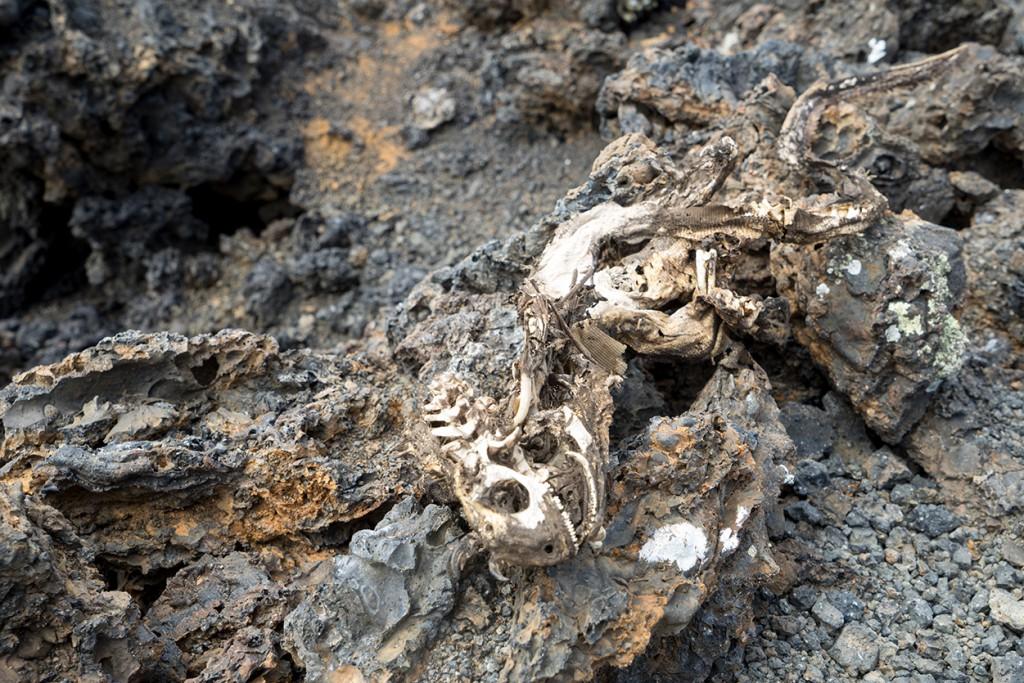 Zo ziet een iguana er uit als hij dood is (en opgevreten door aaseters).