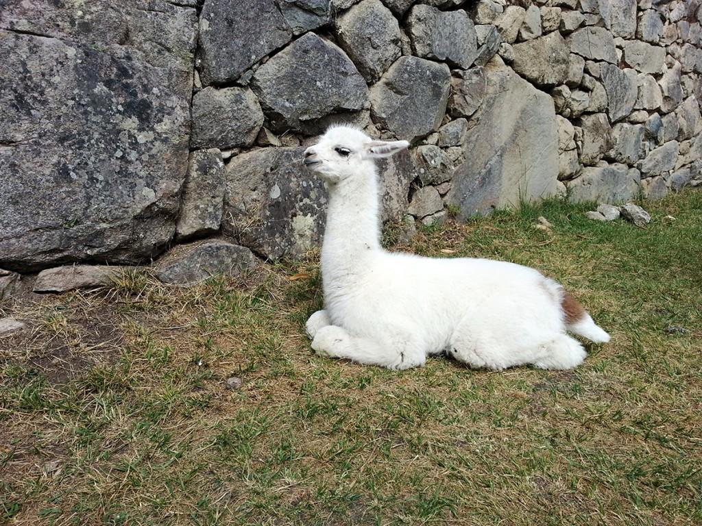 Baby lama lekker in de zon bij Machu Picchu.