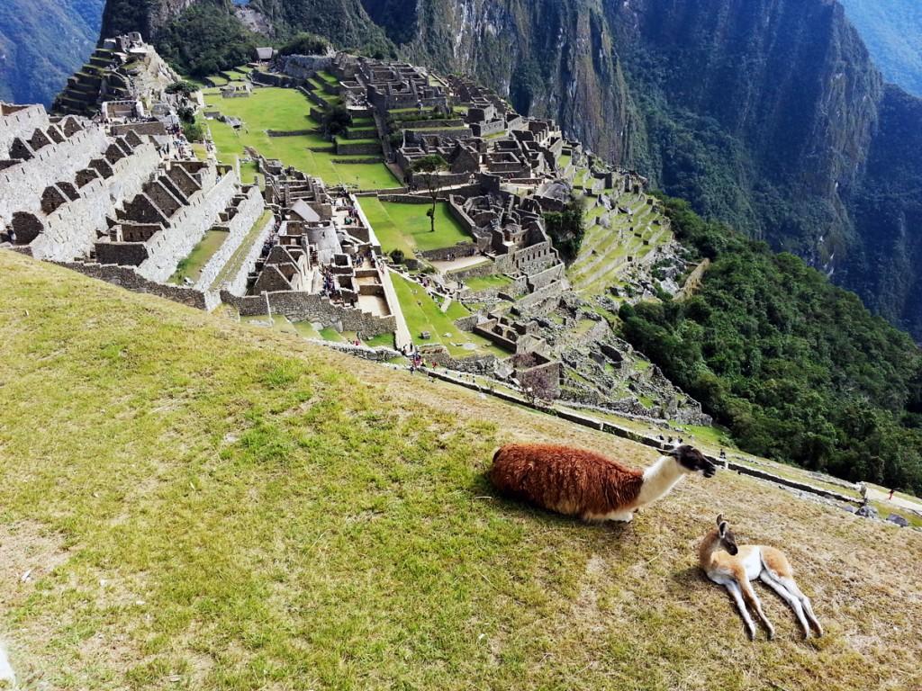 De lama's begeven zich rustig rondom de ruïnes van Machu Picchu. Ze trekken zich niets aan van al die fotograferende toeristen.