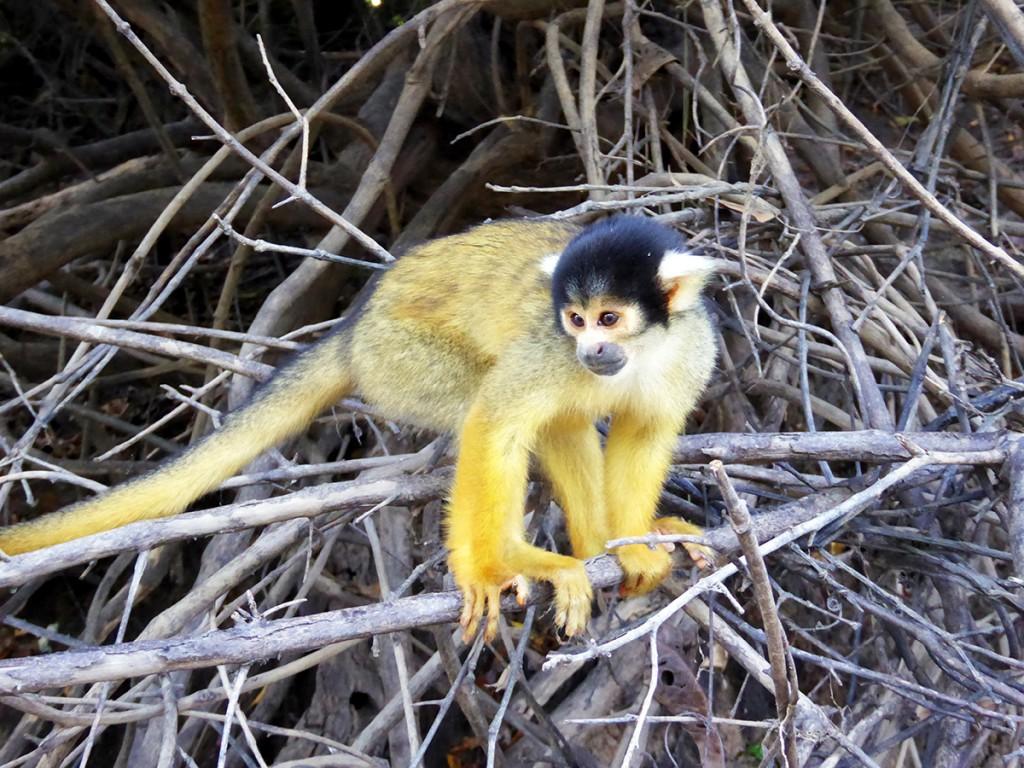 Eén van de vele wilde aapjes. Ze durfde soms heel dichtbij te komen.