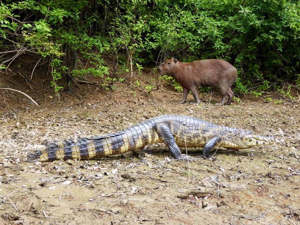 Alligator en Capi. De één eet de ander, maar deze Capi was gewoon te groot voor hem.