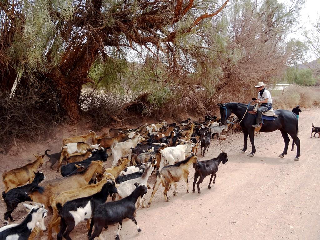 Wie heeft er voorrang, de mens op het grote paard? Nee, altijd de enorme hoeveelheid geiten natuurlijk.