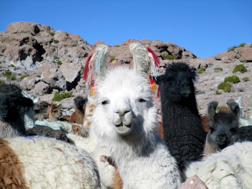 Die lama's trekken de gekste bekken!