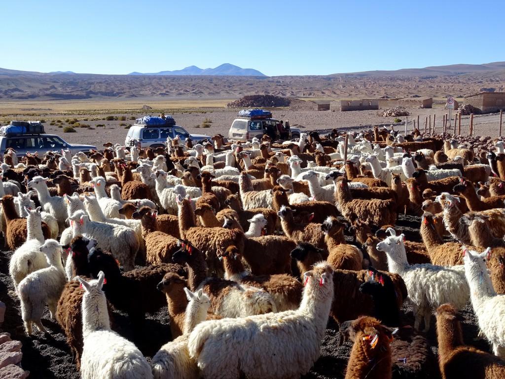 Hoe ze het doen weet ik niet, maar ze krijgen al deze lama's in een hok. Dat gaf ons de kans om ze rustig te bekijken en fotograferen.