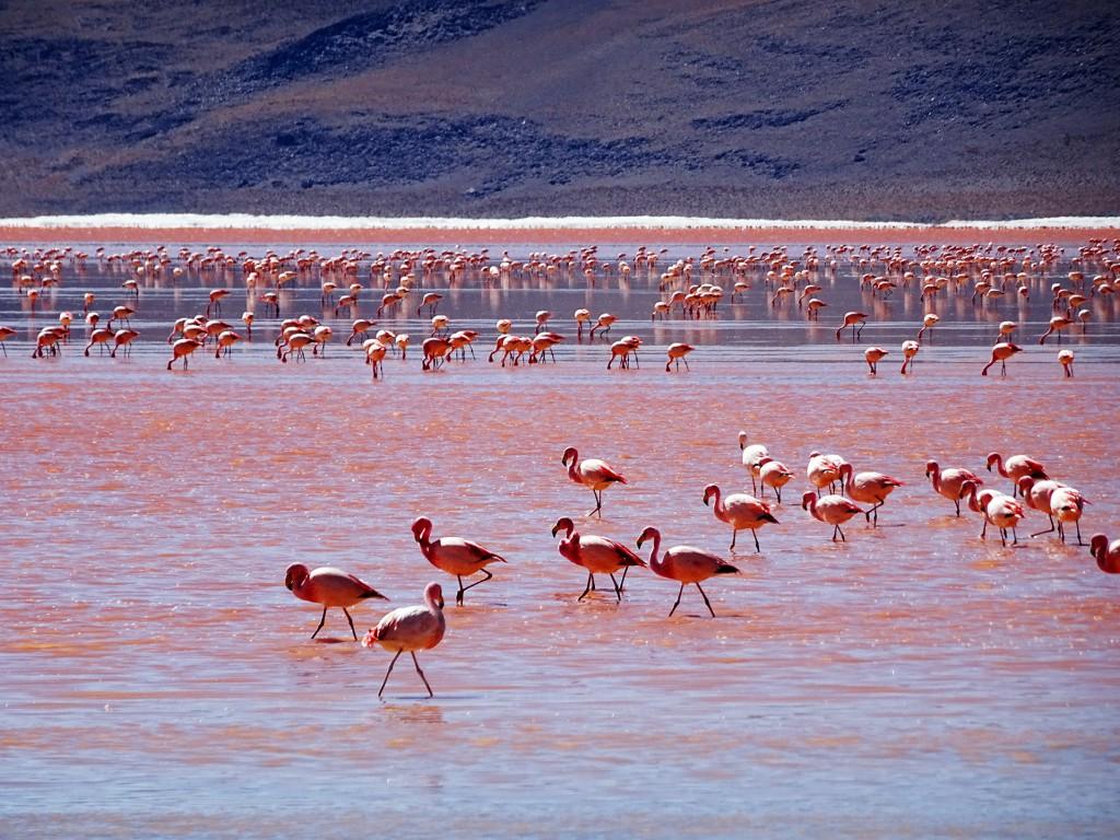 Misschien wel het mooiste wat ik in mijn leven heb gezien is Laguna Colorado. Het water heeft op verschillende plekken verschillende kleuren en is gevuld met duizenden flamingo's. Denk de bergen er even omheen en je hebt het perfecte plaatje. Ik zou hier dagen naar kunnen kijken en niet verveeld raken.