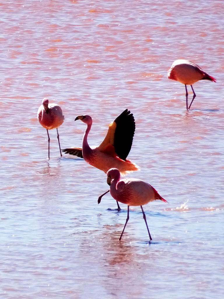 Nog zo'n prachtige foto van flamingo's in Laguna Colorada.