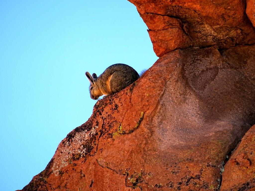 Deze steppen-konijnen noemt men Viscachas. Ze zijn schuw, maar vaak wel nog te zien tussen alle steenformaties.