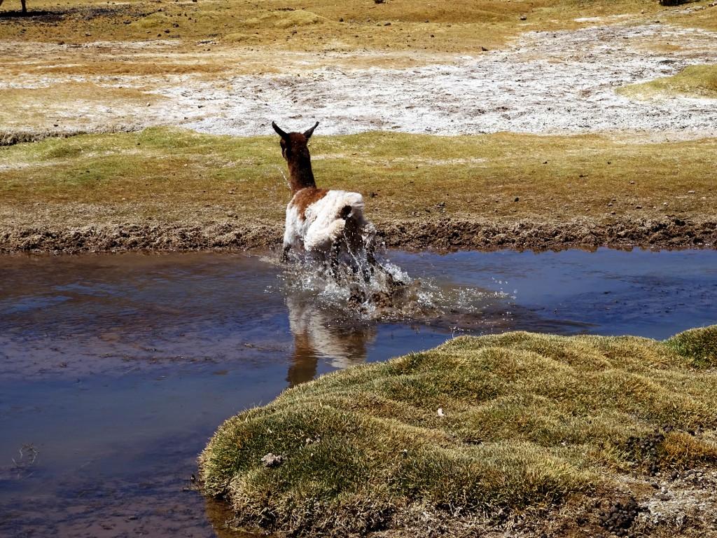 Ontzettend veel lama's gezien, maar een door het water vluchtende baby geeft dan toch wel een heel mooie foto.